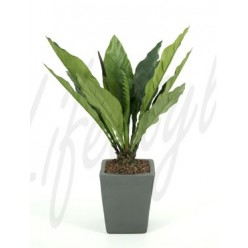 Anthurium jungle king