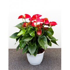 Anthurium and. sierra
