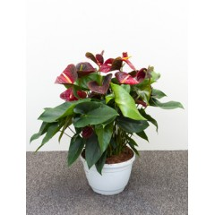 Anthurium and. otazu
