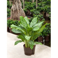 Aglaonema green light