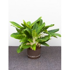 Aglaonema king of siam